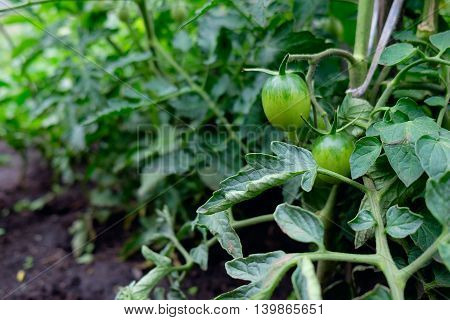 Green tomatoes on tomato tree in garden. Agriculture concept.
