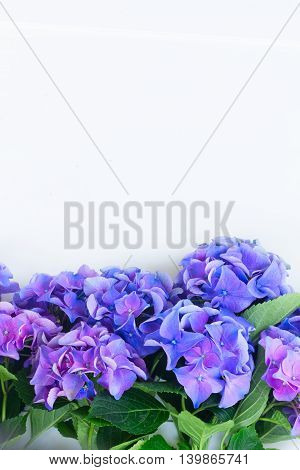 blue and violet hortensia flowers border on white background with copy space
