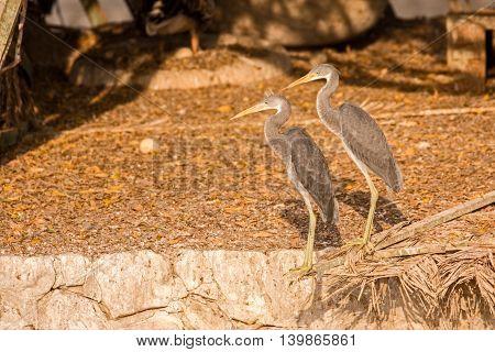 Juvenile Western Reef Egrets or Egretta Gularis in a Park in Bahrain