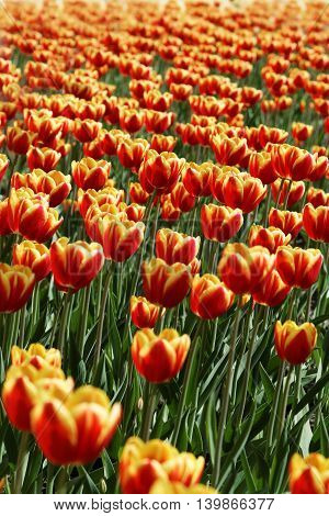 Field of red and yellow tulips. Vertical colorful floral background.