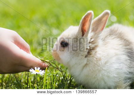 Child hand gives grass for little bunny on green grass background.