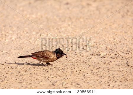 Red-vented Bulbul or Pycnonotus Cafer with its prey, Bahrain
