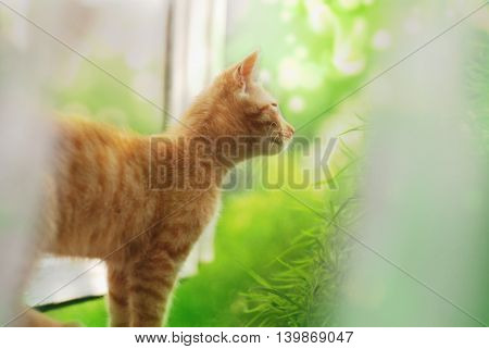 Red Cat At The Window.