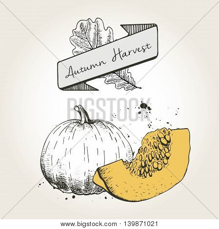 Vector hand drawn illustration of pumpkin slices. Engraved autumn vegetable with colored slice isolated on vintage background. Harvest for cooking.