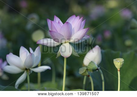 Lotus Flowers in Aquatic Garden in Summer