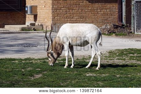 An addax antelope (Addax nasomaculatus) stands and grazes on the grass.