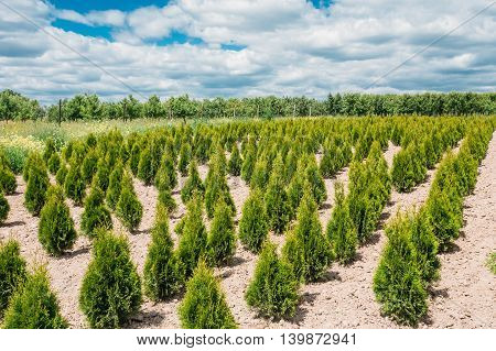 The Summer Spring Plantation Of Thuja Or Thuya Seedlings, Planted Rows On Sandy Soil. Coniferous Small Bushes. The Forest Background.