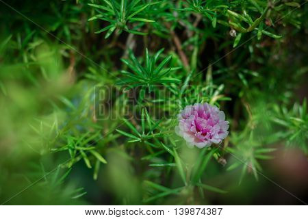 Pink pussley flower. Beauty of pussley flower or Moss Rose under natural light in the morning.(vintage effectsoft focus)
