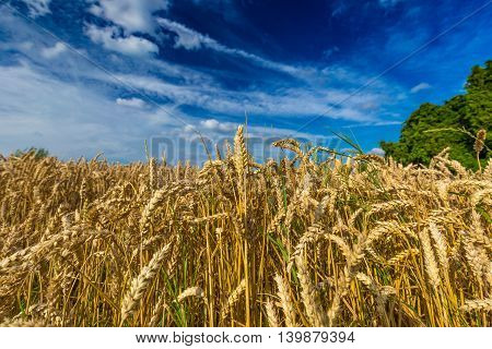 Closeup Of Wheat Plants Against Dramatic Blue Sky In Belgium