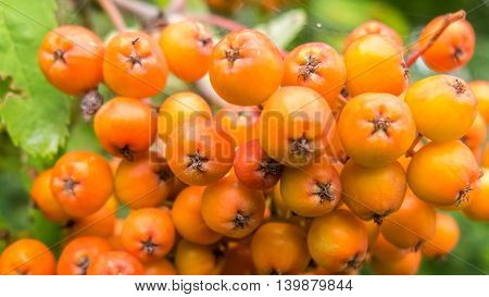 Bunch of young berries of mountain ash, rowan beautiful nature close. Orange berries chokeberry, is rich in vitamins. Healthy natural food.
