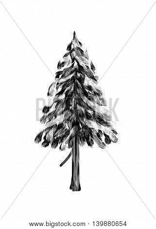 Spruce. Drawing tree on white bacground. Black silhouette wood.