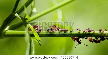 Red Ants On A Green Stem