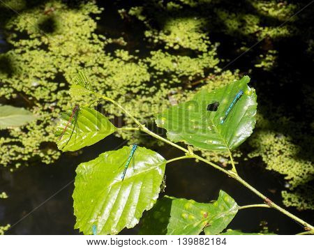 Dragonflies on deciduous tree leafs over pond
