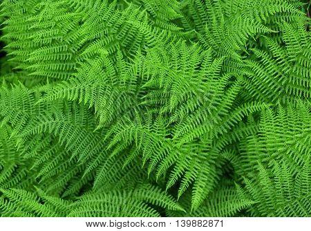 Green fresh fern background, ferns nature background