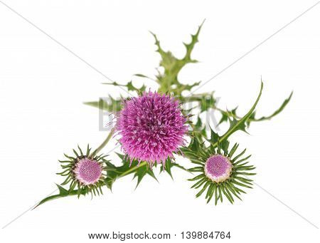 thistles flowers isolated on a white background