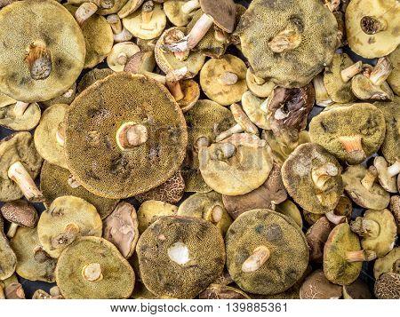Background of bay boletus mushrooms