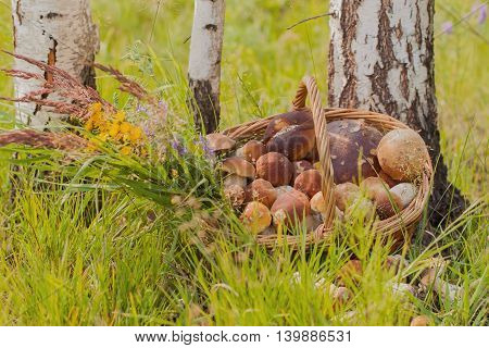 Wicker basket with white and other mushrooms on the forest background in the green grass near the trunks of white birches