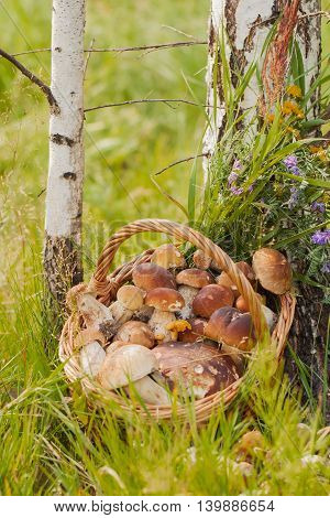 Wicker basket with white and other mushrooms on the forest background in the green grass near the trunks of white birches, vertical