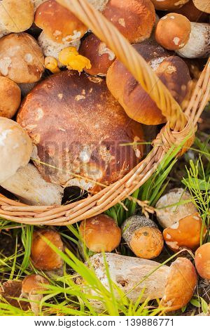 Wicker basket with Porcini mushrooms on a green grass background , vertical, close-up