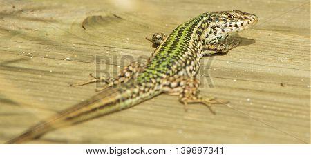 Green lizard on the board looks back