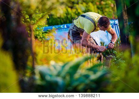 Men Working in His Beautiful Garden. Caucasian Gardener.
