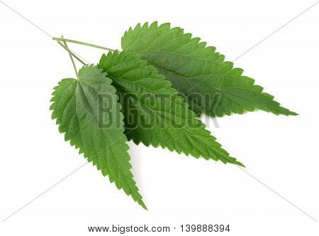 Nettle leaves isolated on a white background