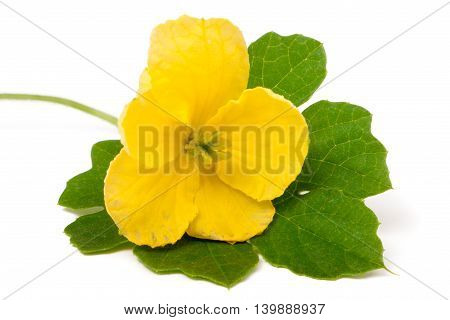 momordika flower with leaf isolated on white background close-up macro.