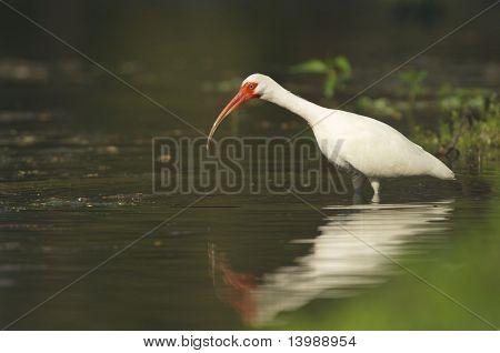 White Ibis, Eudocimus Albus