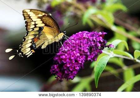 A Yellow, black with some orange spots swallowtail butterfly, on a purple flower.