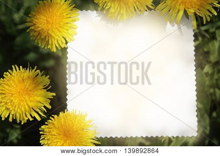 background with sunny yellow dandelions with a card for inscriptions top view / sun flower card
