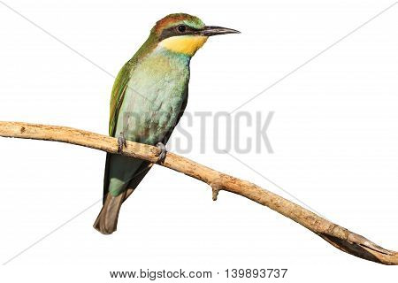 young bird with green plumage isolated on white, european bee eater