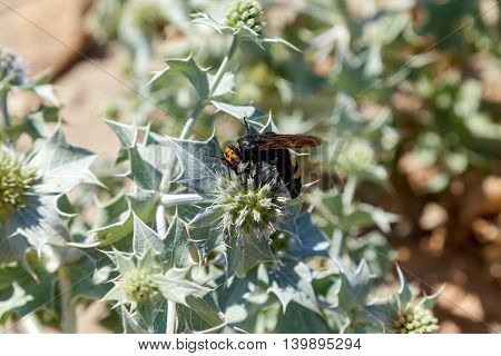 Large wasp collects pollen on white flowersScoliid wasp