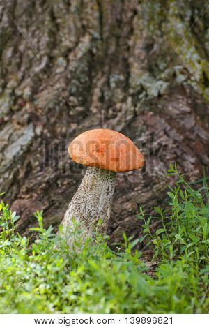 Mushroom orange-cap Boletus edulis in forest. healthy and delicates food