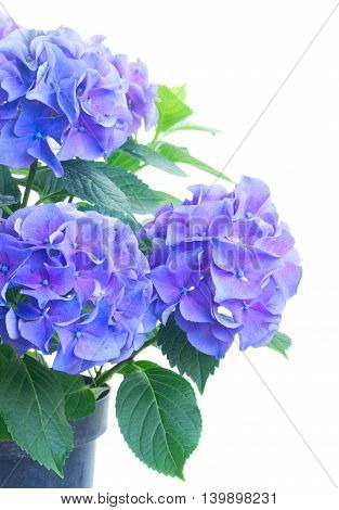 bush of blue and violet hortensia fresh flowers isolated on white background