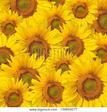 Background made of many beautiful yellow sunflowers