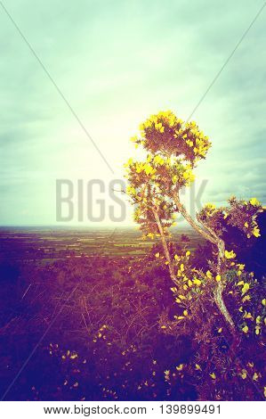 A yellow gorse bush faces the sun in a bid to grow on a cold Irish hilltop