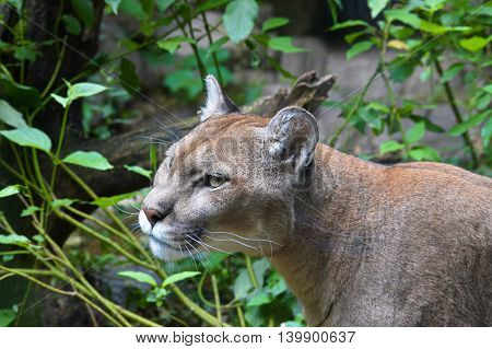An adult Puma walking in the wilderness