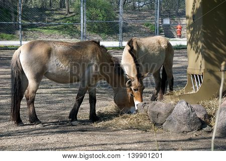A pair of Przewalski's wild horses (Equus ferus przewalskii) eat hay together.
