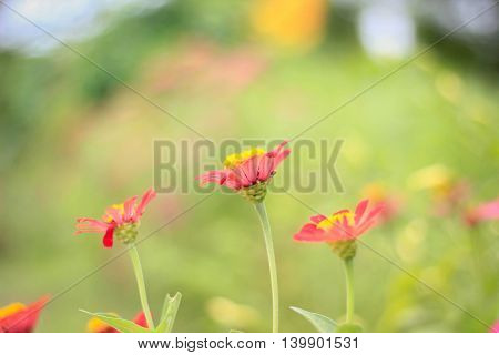 Red zinnia flowers in bright green fields