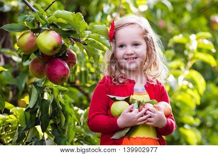 Child picking apples on a farm in autumn. Little girl playing in apple tree orchard. Healthy nutrition.