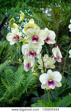 Pale yellow and purple orchids bloom in a tropical garden in Singapore.