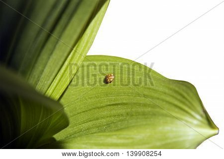 ladybird on a green leaf White background