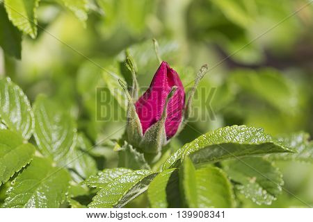 An image of fresh pink bud of briar
