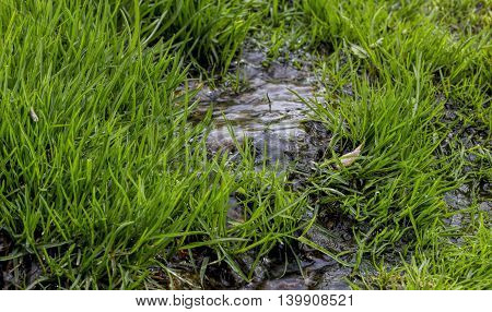 A small stream the young green grass