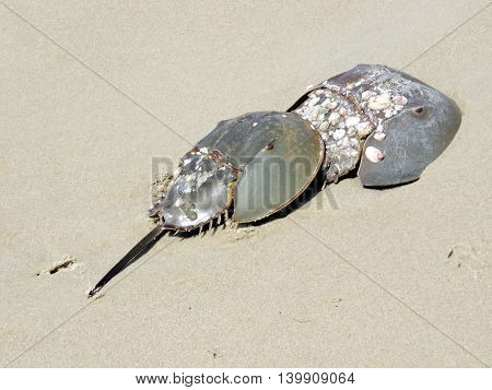 Two Horseshoe crabs on the South Bethany Beach in Delaware 8 May 2016 Usa
