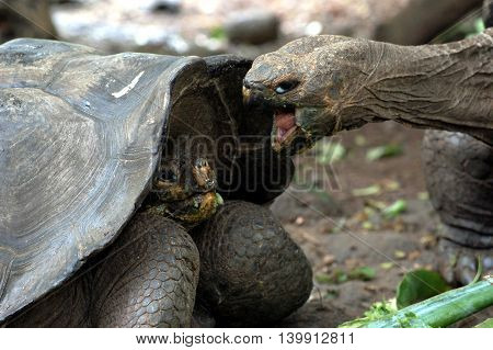 closeup of giant tortoises fighting on food, Galapagos