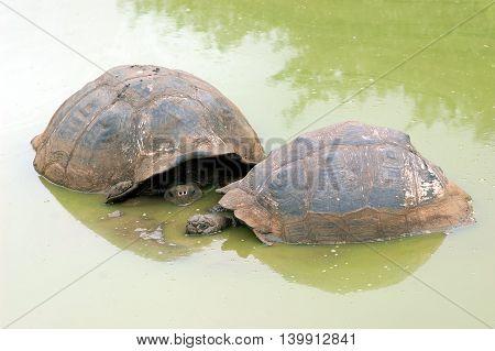 Galapagos tortoises in their natural habitat at El Chato Tortoise Reserve, Santa Cruz Island, Galapagos, Ecuador