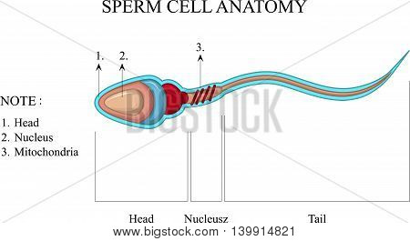 Human Sperm cell Anatomy for you design