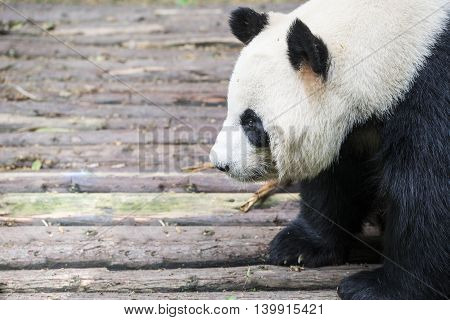 close up giant panda bear in Chengdu China