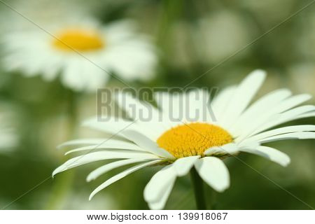 Flowering. Chamomile. Blurred Background